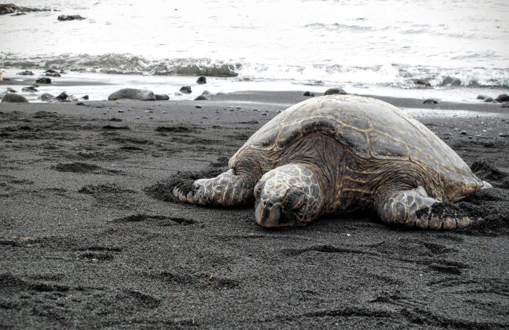 punaluu sea turtle
