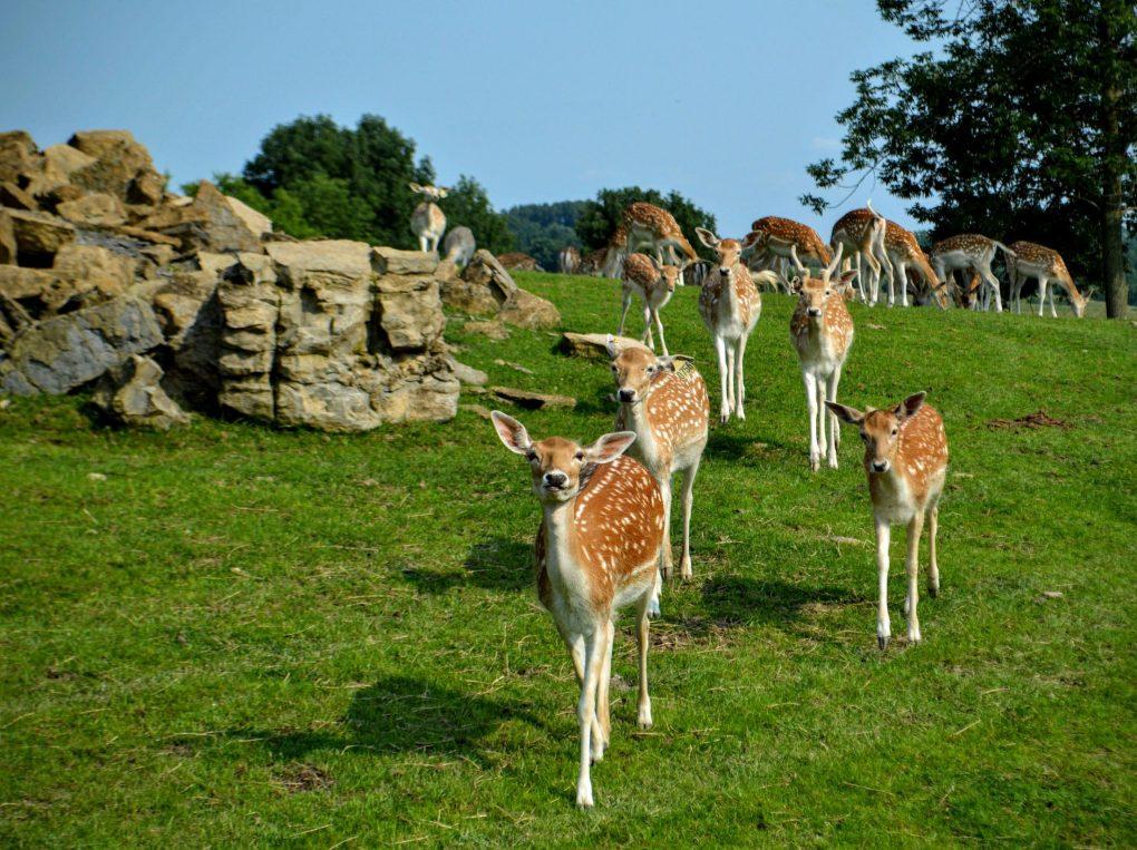 axis deer herd amish zoo