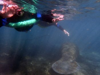Manatees just below the waters surface